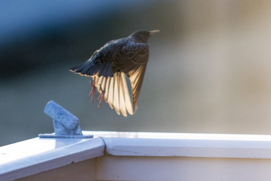 Litt uskarpe bilder av en stær eller to som stjæler redematerialer fra fuglekassa på garasjen